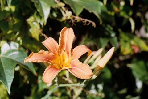 Eine Feuerlilie